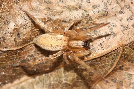 Ghost Spider - Hibana gracilis - female