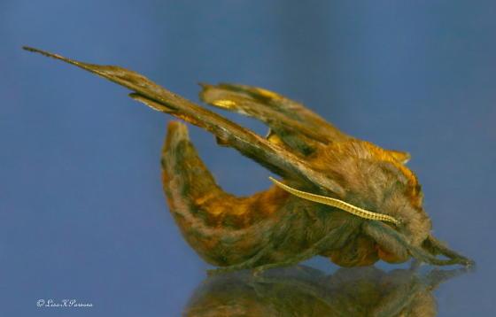 What Kind of Moth? - Paonias myops