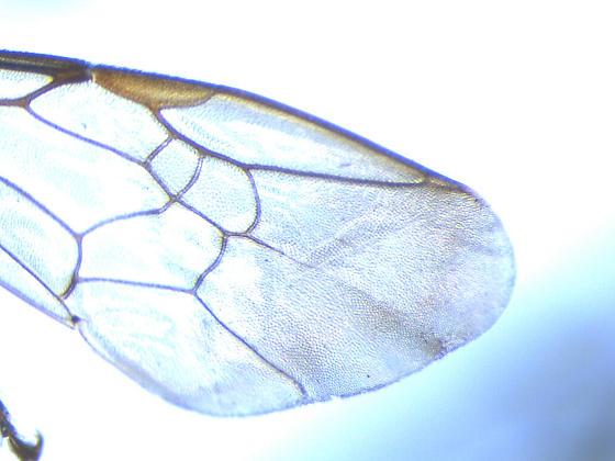 Unknown Bee Maybe Euglossa - Augochlora pura - female