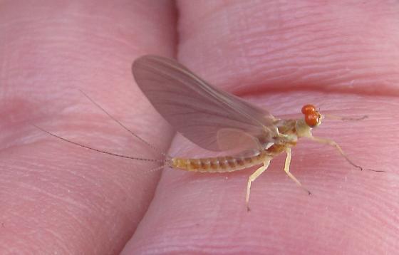 Mayfly2 - Ephemerella aurivillii