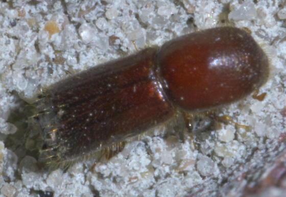 Reddish bark beetle with a hairy tail - Xyleborus