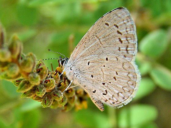 Southwestern Azure Butterfly - Celastrina echo - male