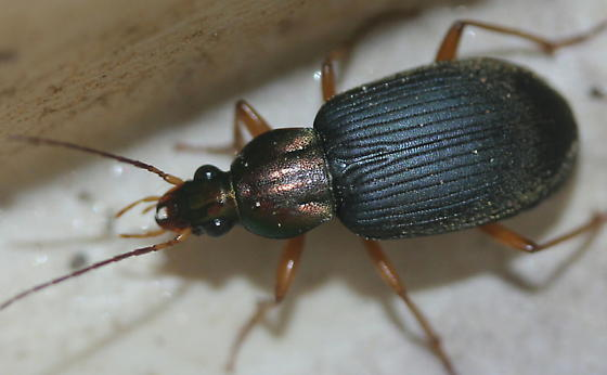 resembles Chlaenius - Chlaenius tricolor