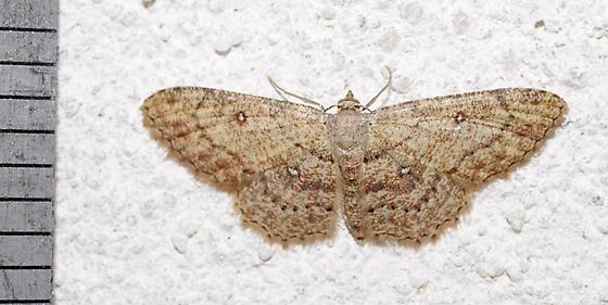 moth - Cyclophora nanaria