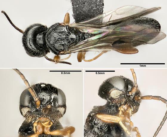 Vanhornia eucnemidarum - female