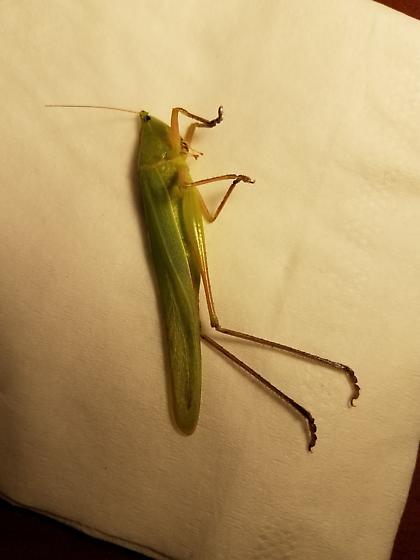 Neoconocephalus caudellianus - Neoconocephalus triops - female