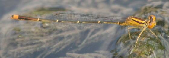 Orange Damselfly - Enallagma signatum - male