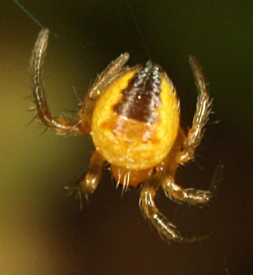 Cross Spiderling - Araneus diadematus