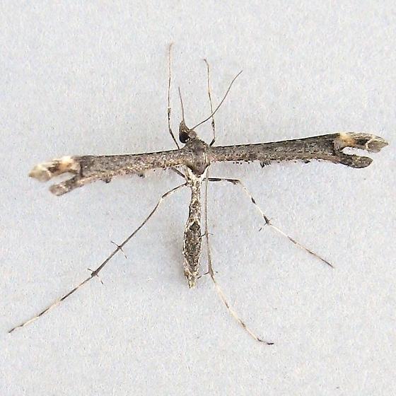 Plume Moth - Anstenoptilia marmarodactyla