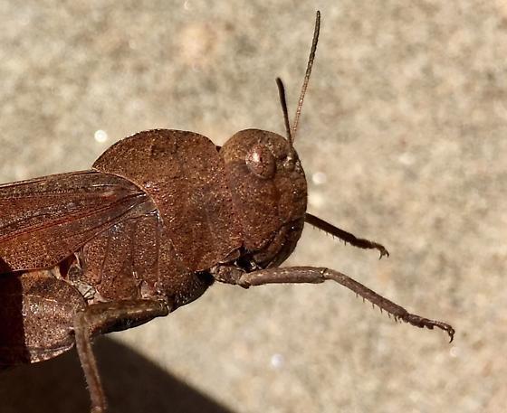 Band winged - Arphia xanthoptera - male