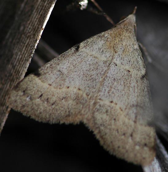 moth - Hemeroplanis
