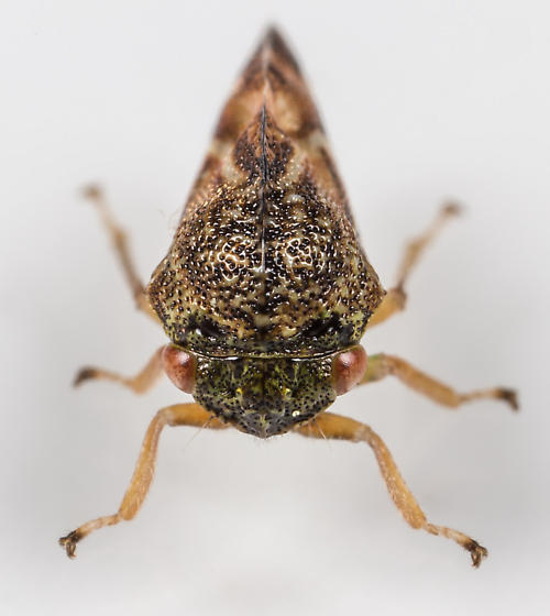 Treehopper - Cyrtolobus