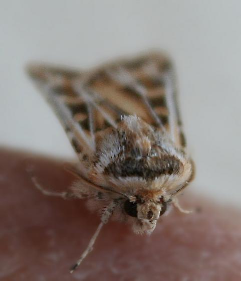 what moth? - Euxoa recula
