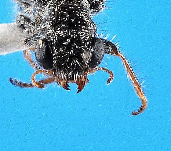 Phyllobaenus? - Phyllobaenus