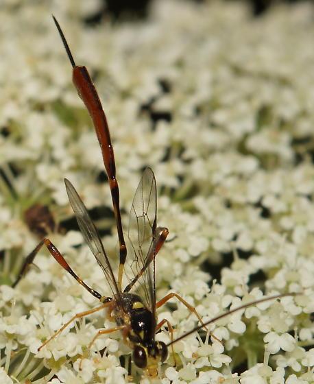 Unknown Ichneumonidae - Eiphosoma - female