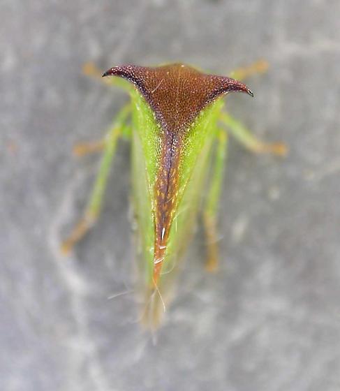 Ceresa tauriniformis - Stictocephala tauriniformis