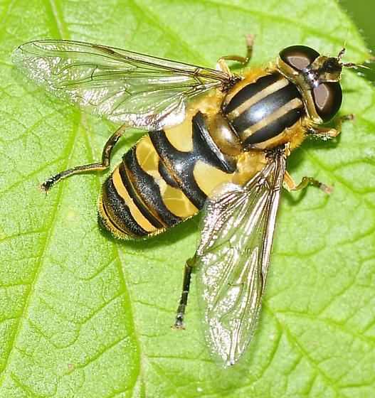 Syrphid Flies Helophilus fasciatus - Helophilus fasciatus - female