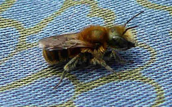 2012-06-23 Megachilidae family pic 2  - Osmia caerulescens