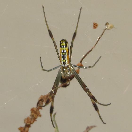 Baby Golden Silk Orbweaver - Nephila clavipes - female