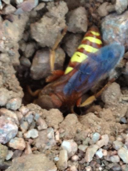 Wasp? - Sphecius grandis