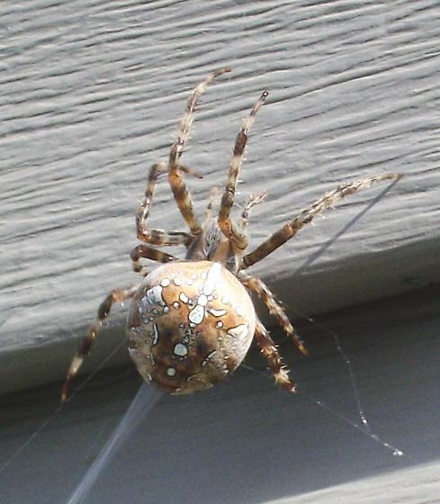 Spider on the neighbors house - Araneus diadematus