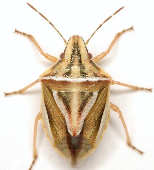 Cyptocephala elegans (Malloch) - Cyptocephala elegans