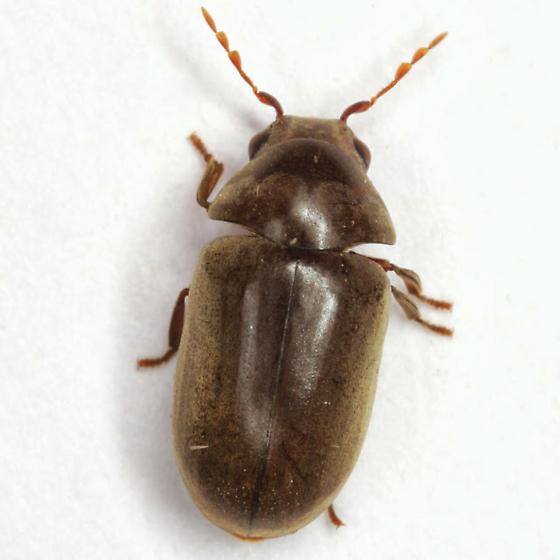 Tricorynus