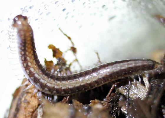 Oregon Cleidogonidae? - Vasingtona irritans