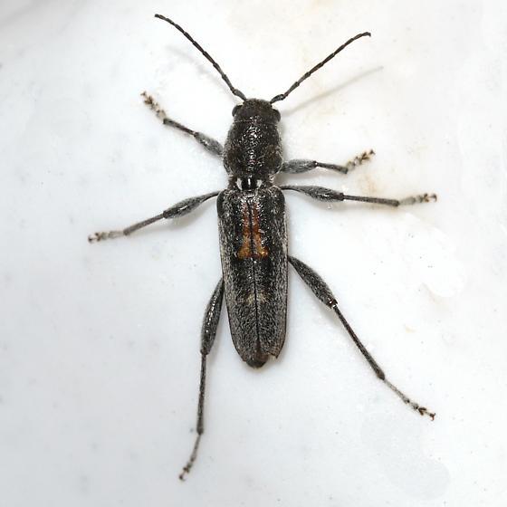 beetle - Xylotrechus sagittatus