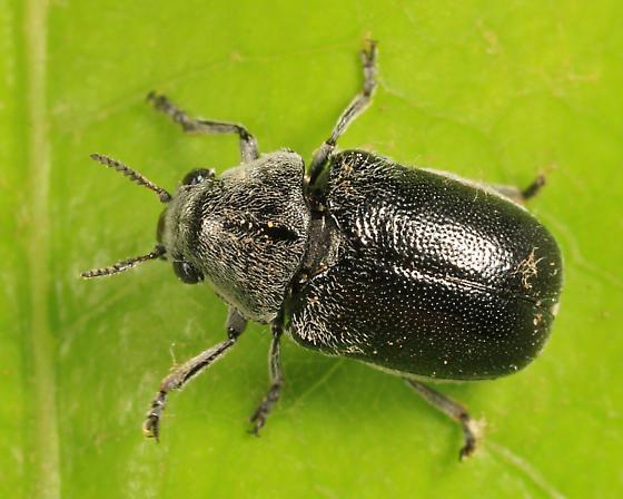 leaf beetle - Coleothorpa dominicana
