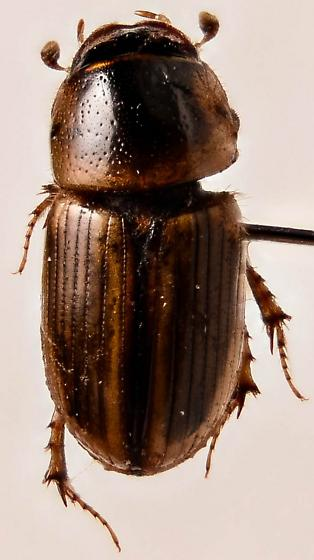 Small Scarab 2 - Aphodius pseudolividus