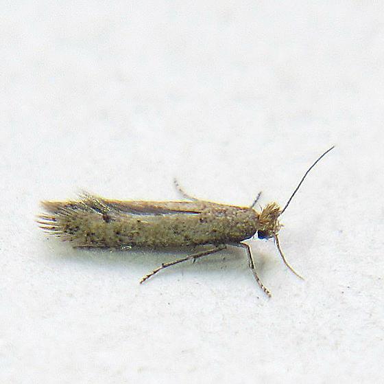 Astrotischeria occidentalis - Hodges #0158 - Astrotischeria occidentalis