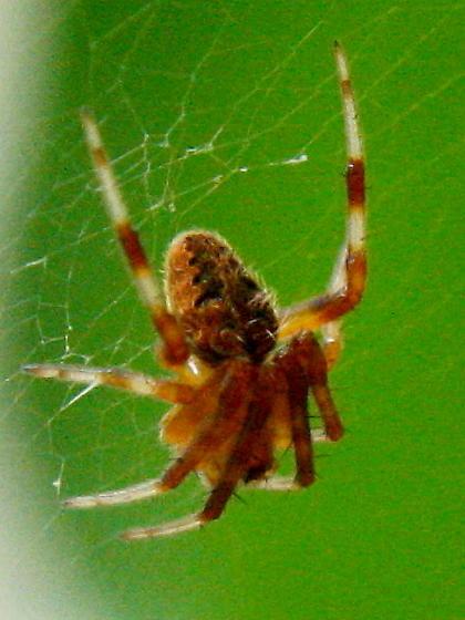 Spotted orbweaver spider - - Neoscona