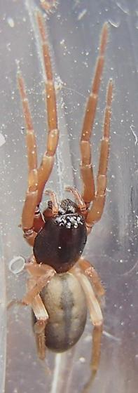 Corinnidae- Trachelas species? - Meriola decepta - female