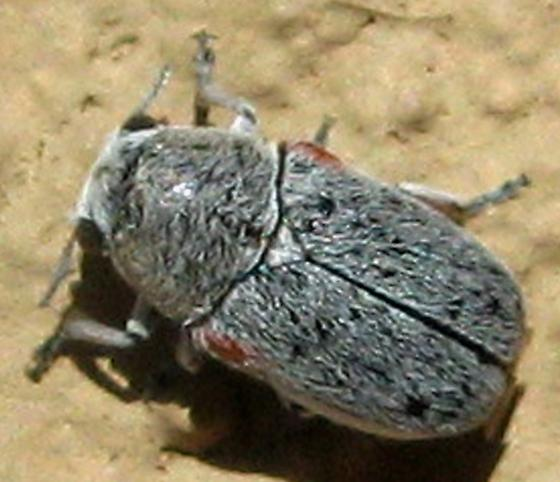 Small Beetle ID? - Coleothorpa axillaris