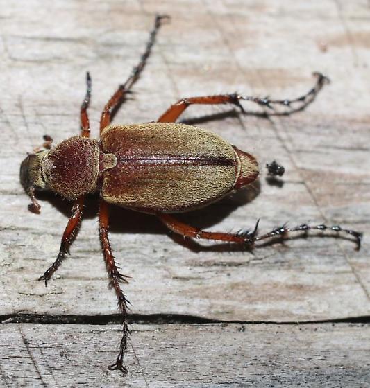Macrodactylus angustatus? - Macrodactylus