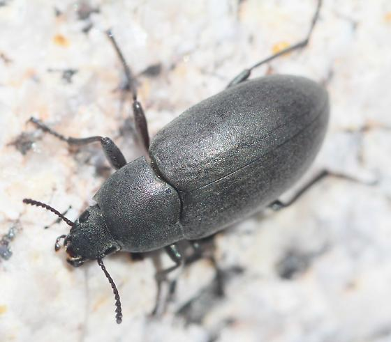 Darkling Beetle - Lobometopon - Lobometopon fusiforme