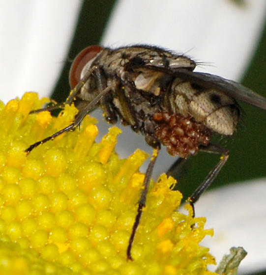 Stable Fly with parasites - Stomoxys calcitrans - female