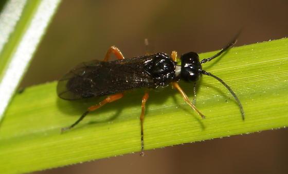 Unknown Sawfly? - Ametastegia glabrata
