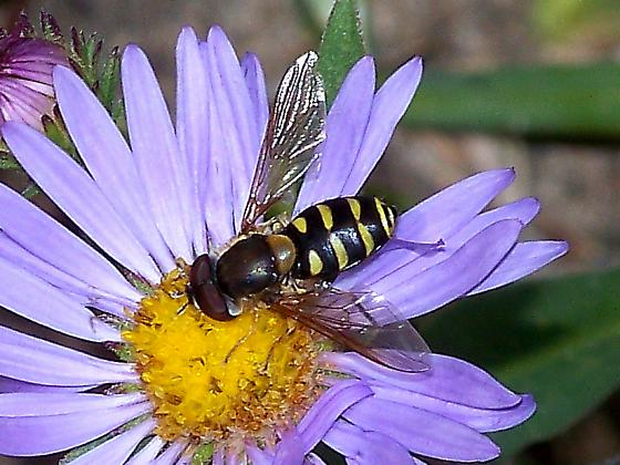 Hoverfly from Mount Rainier