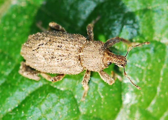 Who knows what weevil? (Turns out to be a vegetable weevil.) - Listroderes costirostris