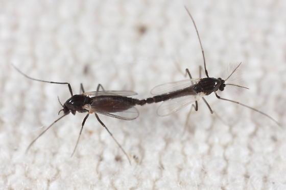 Midge pair at light - male - female