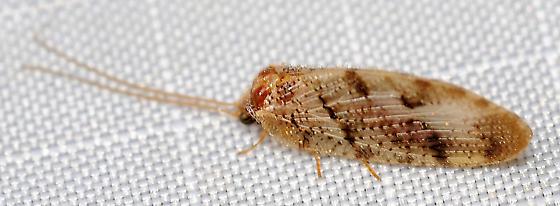 Neuroptera. - Megalomus