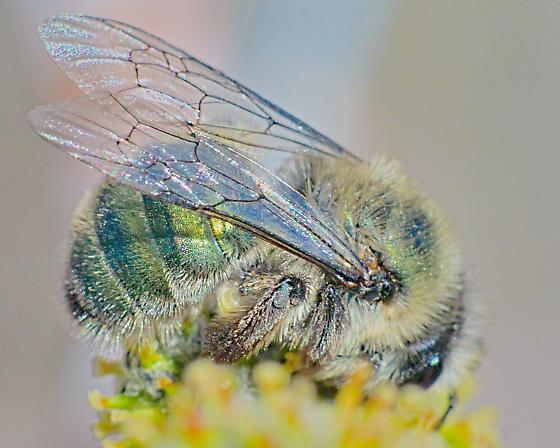 Bee 10-12mm - Andrena