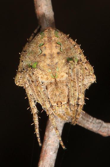 Orbweaver with green markings and yellow chelicerae - Eustala? - Eustala anastera - female