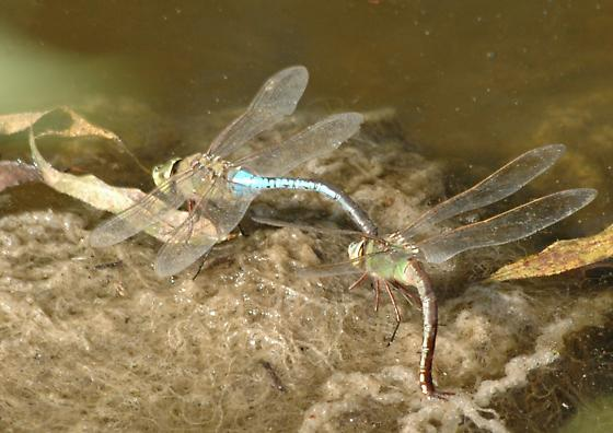 Green Darner Mating Pair - Anax junius - male - female