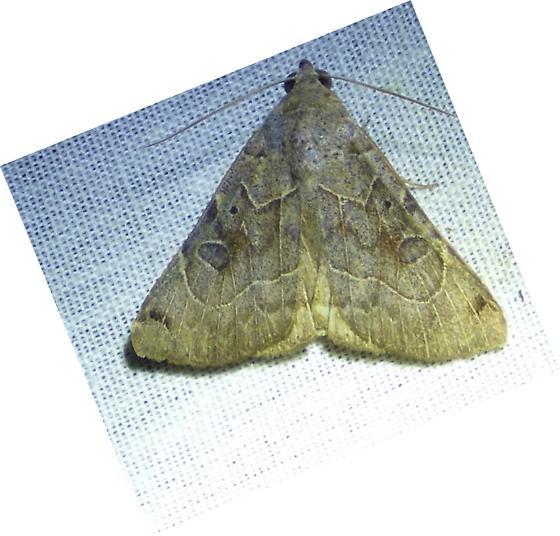 Isogona scindens