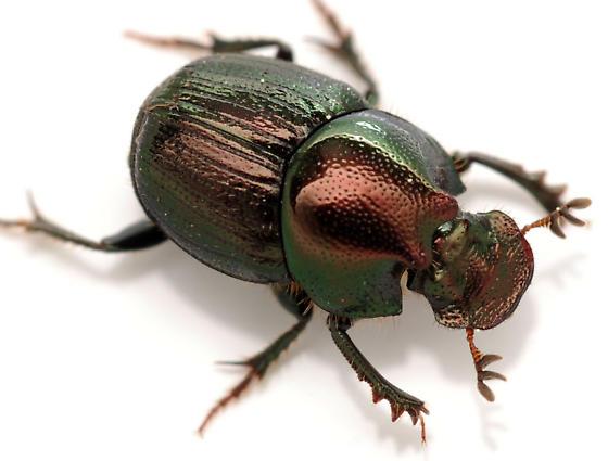 dung beetle - Onthophagus orpheus - male