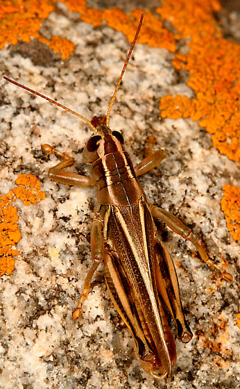 Grasshopper - Melanoplus bivittatus - male