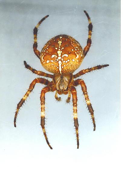garden spider araneus diadematus female - Garden Spider